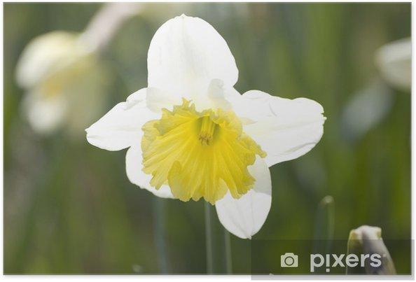 Poster Narzisse - Blumen