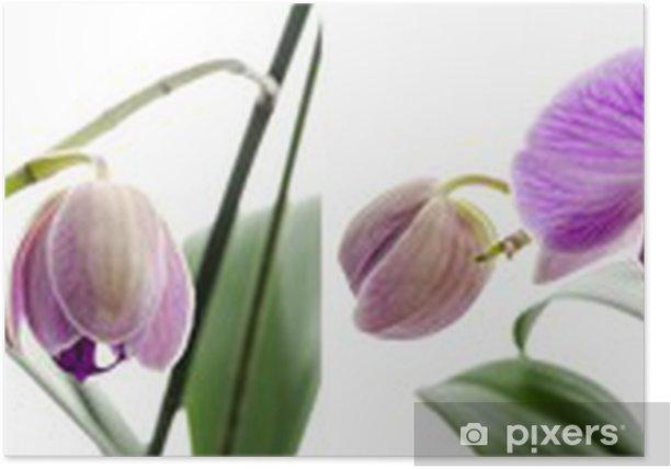 Poster Orchideenblüte Stadien des Wachstums - Blumen
