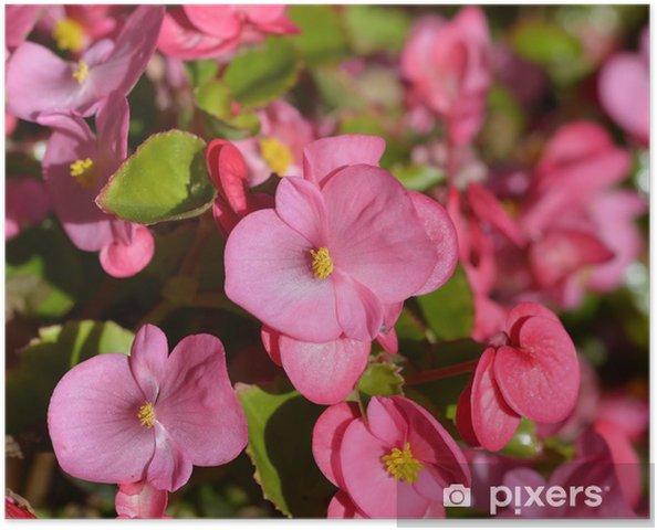 Pianta Fiori Rosa.Poster Piante Da Fiore Rosa Begonia Messa A Fuoco Selettiva