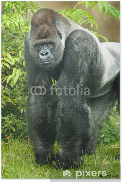 e64d082dcd116 Poster Portrait von Silberrücken Gorilla • Pixers® - Wir leben
