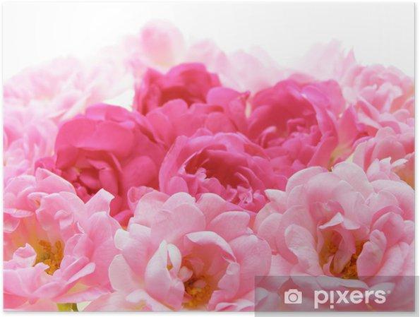 Poster Primo Piano Di Rosa Rosa Fiori Su Sfondo Bianco