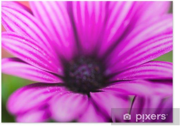 Poster Purpurrote Blume Osteospermum - Jahreszeiten