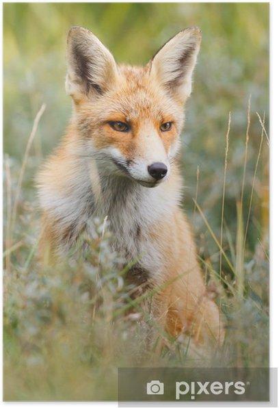 Poster Red fox - Temi