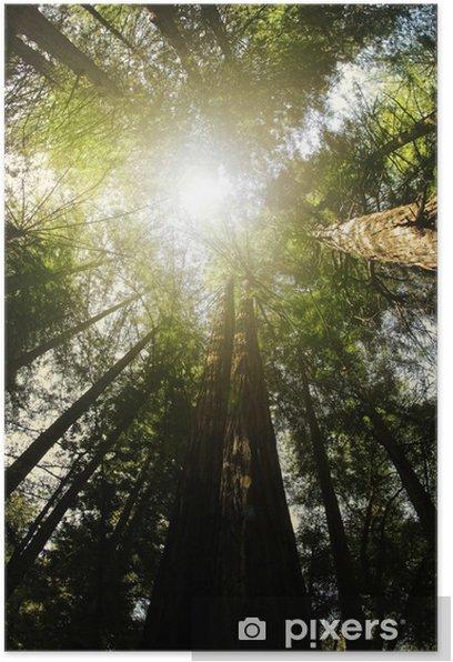 Poster Redwood Wald - Amerika