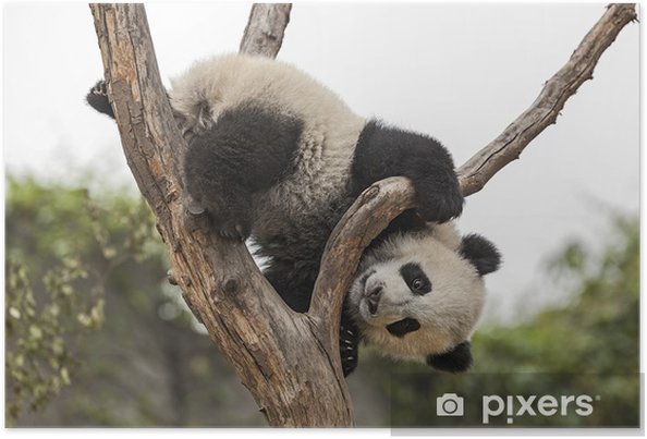 poster riesen baby panda klettern in einem baum pixers wir leben um zu ver ndern. Black Bedroom Furniture Sets. Home Design Ideas