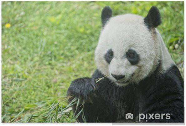 Poster Riesenpanda Beim Essen Bambus Pixers Wir Leben Um Zu