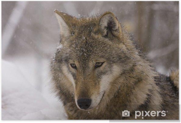 Poster ritratto di un lupo grigio europeo canis lupus lupus