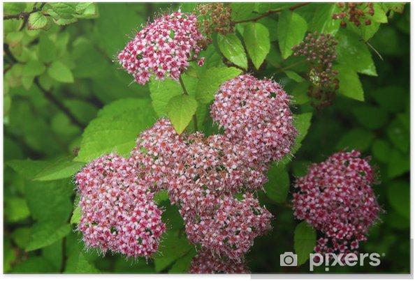 Poster Rosa Blüten der japanischen Zwerg - Pflanzen