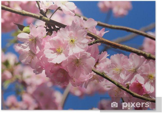 Poster Rosa Kirschblüte- - Pflanzen