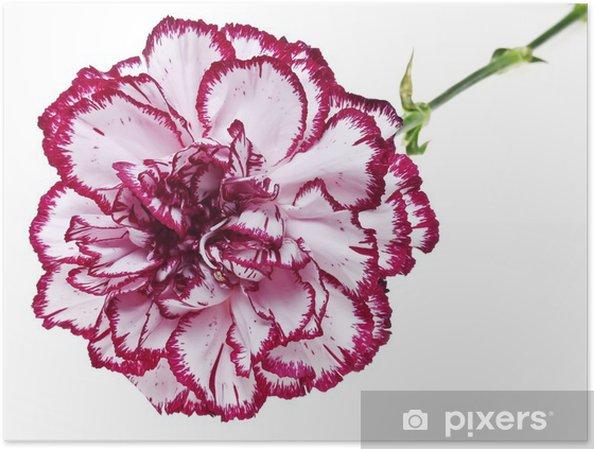 Außergewöhnlich Poster Rosa Nelke Blume auf weißem Hintergrund • Pixers® - Wir &KV_73