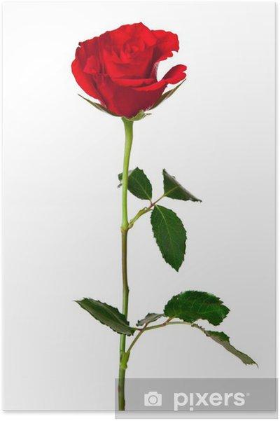 Poster Rosa Rossa Isolato Su Sfondo Bianco Pixers Viviamo Per