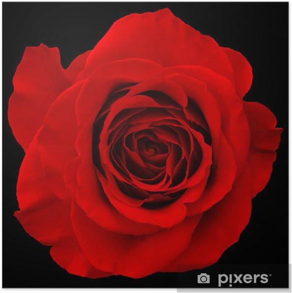 Poster Rosa Rossa Isolato Su Sfondo Nero Pixers Viviamo Per Il