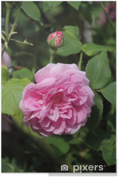 Poster Rose Louise Ordier - Blumen