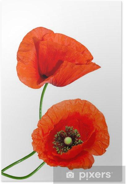 Poster Rote Mohn auf weißem Hintergrund - Blumen