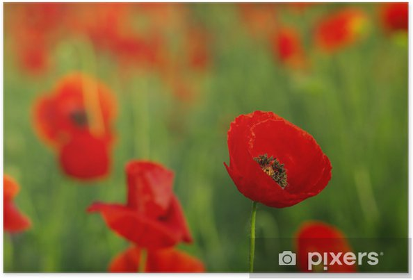 Poster Rote Mohnblumen auf Frühlingswiese - Blumen