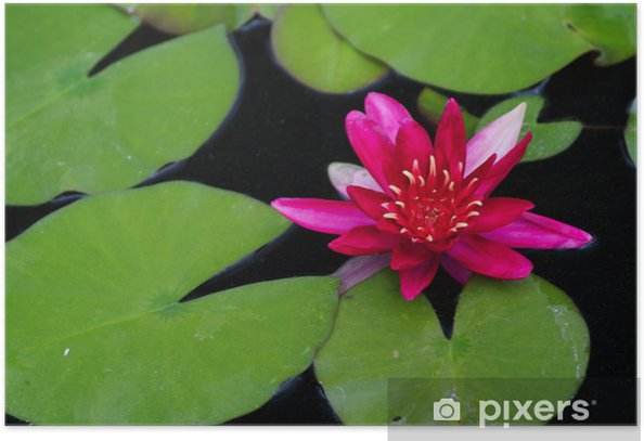 Poster Rotes Wasser lilly - Amerikanische Städte