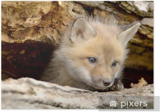 Poster Rotfuchs Welpen (Vulpes vulpes) sucht Kamera rechts. - Säugetiere