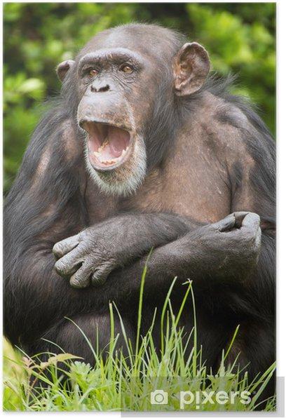 Poster Schimpanse - Säugetiere