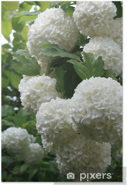 Poster Schneeball - Pflanzen