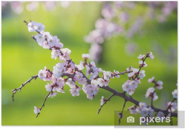 Poster Schöne Aprikose weißen Blumen - Sonstige