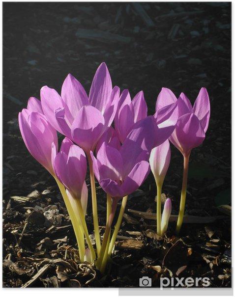 Poster Schöne Blume (Colchicum Speciosus) - Blumen