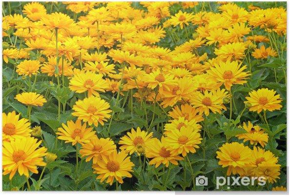 Poster Sonnenaugen - Heliopsis - Blumen