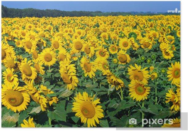 Poster Sonnenblumen - Themen