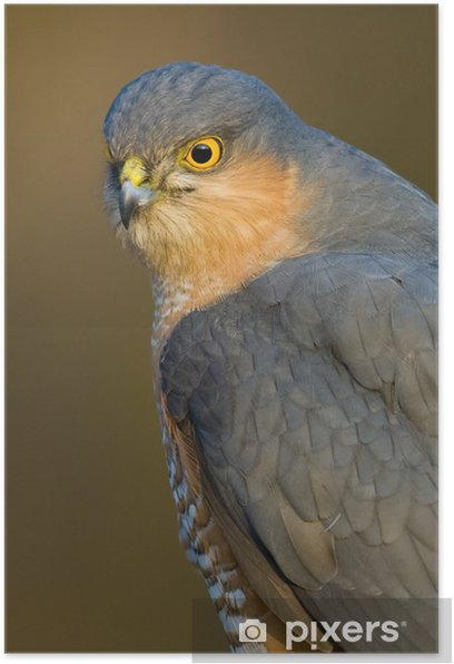 Poster Sparrowhawk ritratto - Uccelli