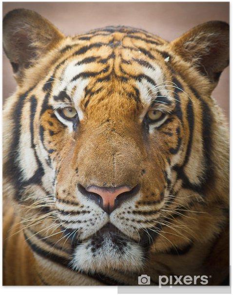 Poster Tiger - Tiger