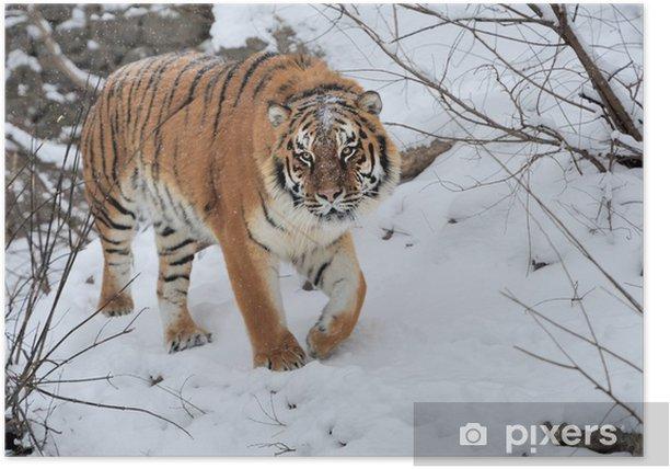 Poster Tiger - Säugetiere