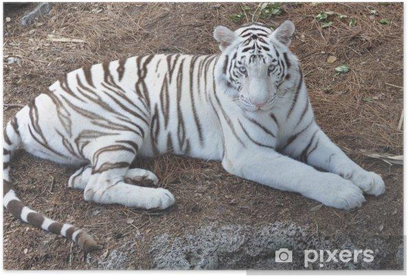 Poster tigre bianca del bengala u2022 pixers® viviamo per il cambiamento