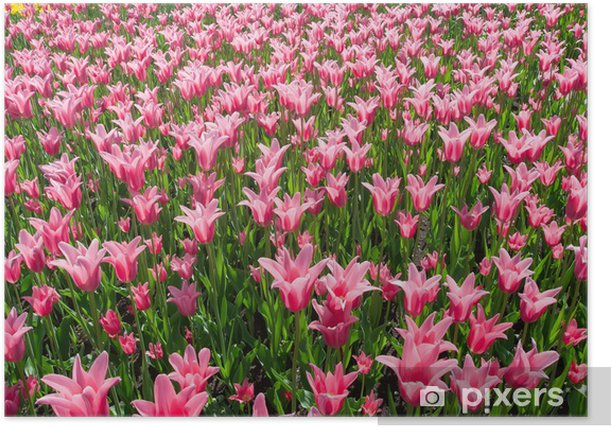 Poster Tulip Blumen - Themen