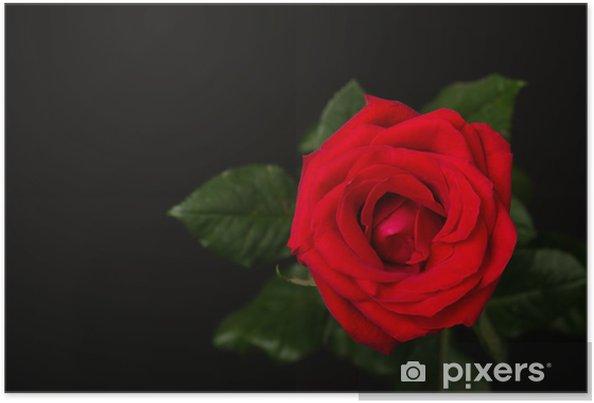 Poster Una Rosa Rossa Su Sfondo Nero Pixers Viviamo Per Il