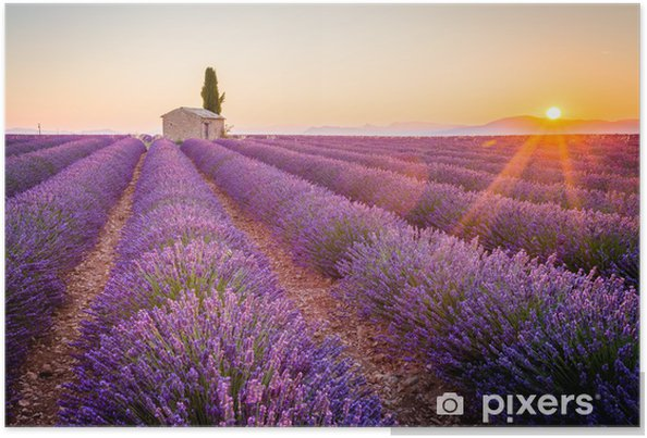 Poster Valensole, Provenza, Francia. Campo di lavanda pieno di fiori viola - Temi