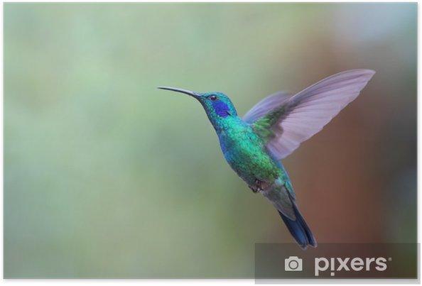 Poster Verde Violetear Colibrì durante il volo in Costa Rica - Animali