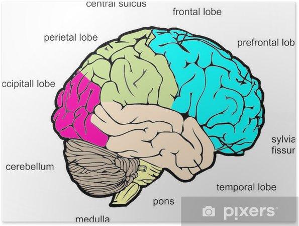 Poster Vista laterale di cervello umano - Salute & Medicina