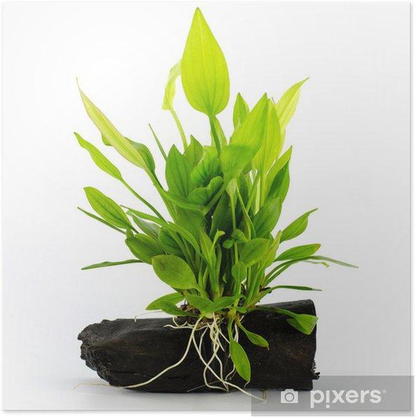 Poster Wasserpflanze auf weißem Hintergrund - Pflanzen