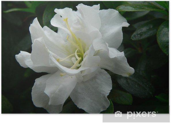 Poster Weiße Azaleenblüte - Blumen