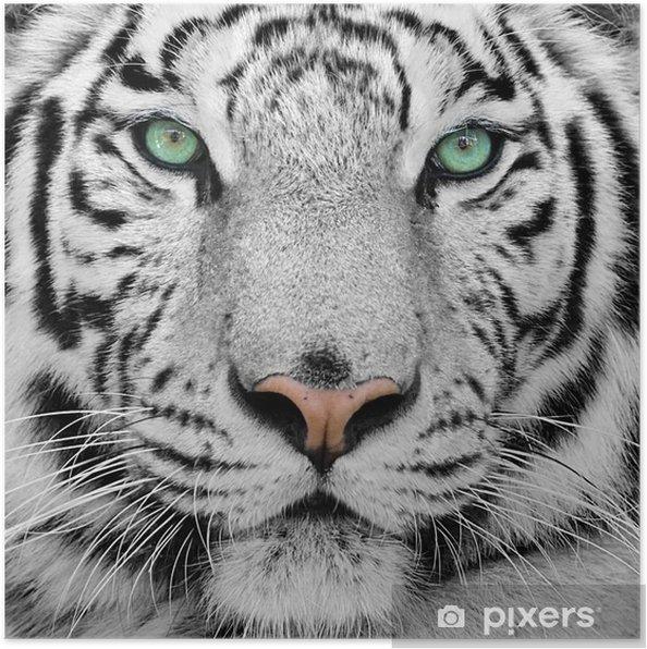 Poster Weiße Tiger