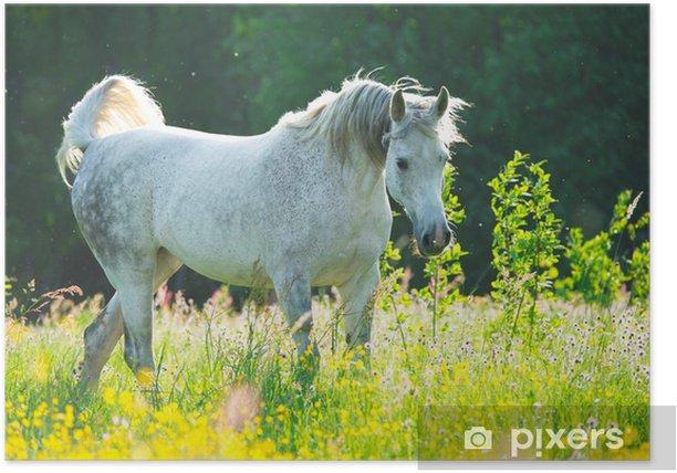 Poster Weißes Pferd in den Sonnenuntergang Licht - Themen