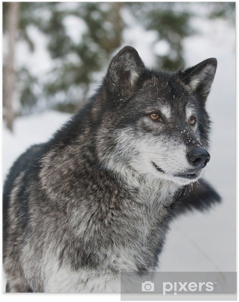 Poster Wolf - Stili
