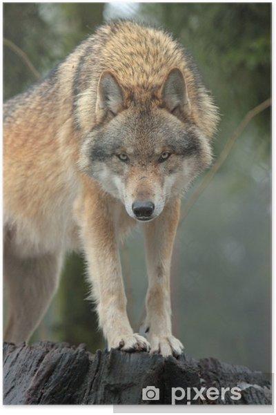 Poster Wolf - Temi