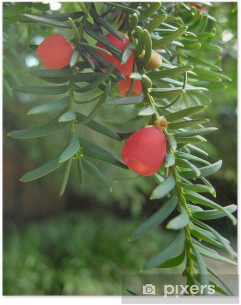 Poster Yew Beeren - Bäume