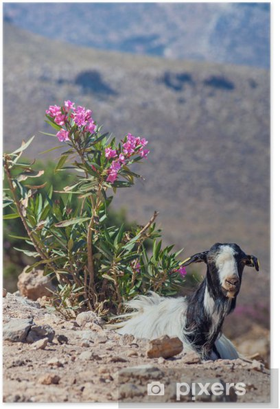 Poster Ziege auf Kreta - Europa