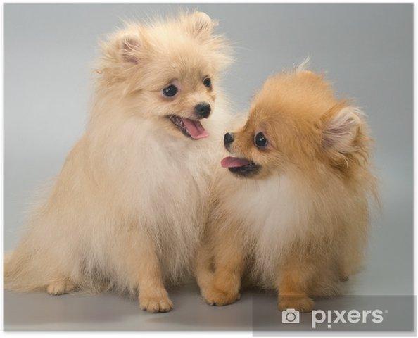 Poster Zwei Welpen Brut Ein Pomeranian Spitz Hund Im Studio