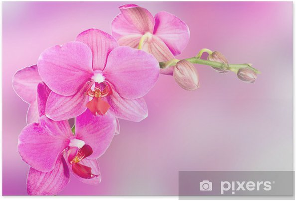 Póster Autoadesivo beautiful pink orchid flower - Temas