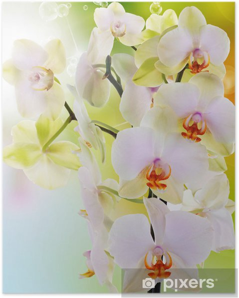 Póster Beautiful flowers Japanese Orchid.Beauty.Flora - Temas