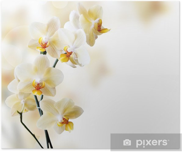 Póster Beautiful white orchid - Temas