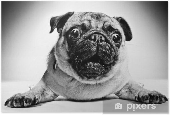 Póster Black and white portrait of a pug - Pugs