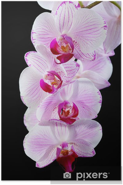 Póster Blooming pink orchid. - Temas